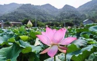 杭州臨安:土地流轉打造生態荷花園
