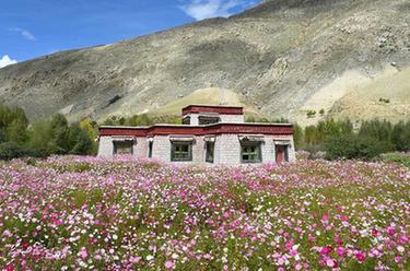 西藏尼木:中秋鮮花艷