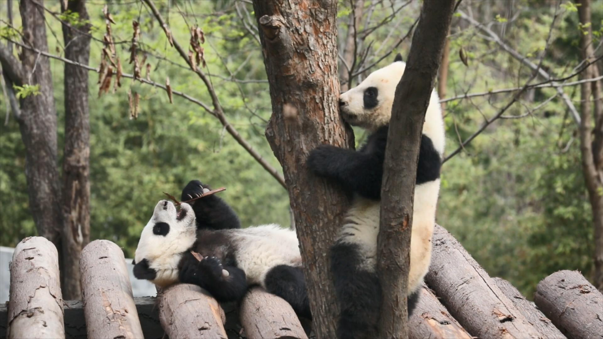 端午假期看什麼?秦嶺大熊貓開直播啦!