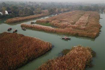 杭州:初冬濕地賞蘆花