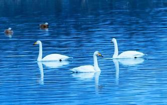 青海黃河岸邊吸引大批天鵝越冬