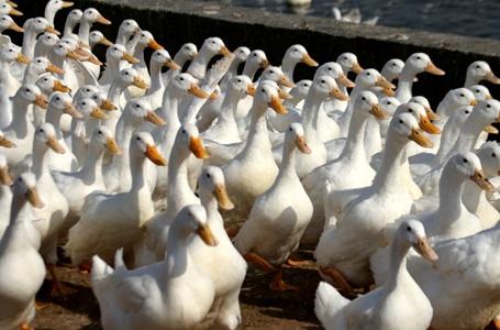 南京養鴨人被曝濫用抗生素 不吃自家鴨子