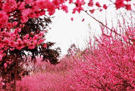 上海:春暖花開 賞花正佳