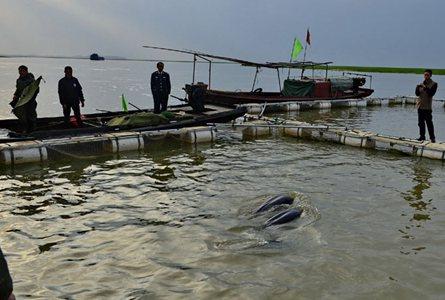 長江江豚遷地保護 最後一批被送往保護區
