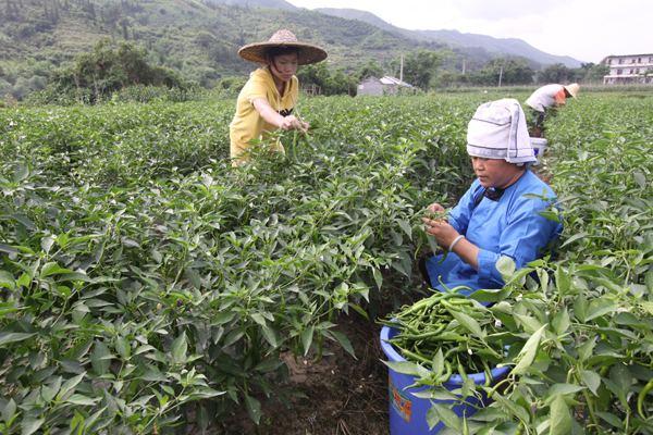貴州:暖冬致青菜早熟 價格大跌銷售遇阻