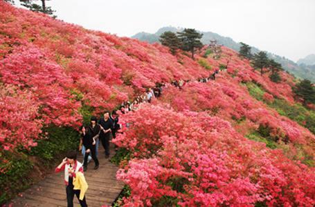 三清山:杜鵑花開引遊人如織