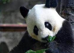 """熊貓""""巴斯""""35歲華誕慶典"""