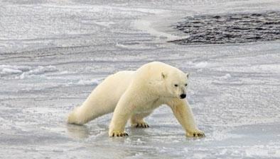 聪明北极熊 模仿游客做俯卧撑