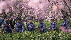 南京:鐘山雨花茶春茶開炒