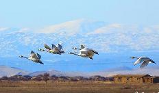 新疆哈巴河濕地生態改善 吸引天鵝停留棲息