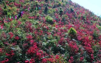 重慶酉陽萬畝杜鵑花盛放 吸引眾多遊客