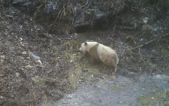 陜西再次發現野生棕色大熊貓