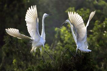 江蘇盱眙:鷺鳥舞翩翩