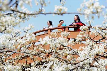 山東陽信:梨花盛開引客來