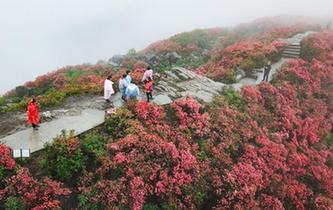 贵州丹寨漫山杜鹃红遍