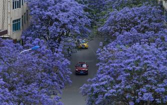 雲南昆明街頭藍花楹盛開
