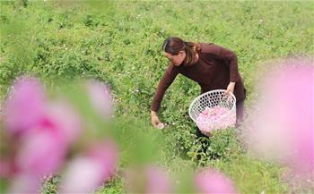 江蘇海安:玫瑰香溢致富路