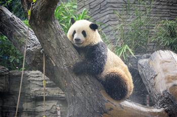 北京動物園:大熊貓淋浴享清涼