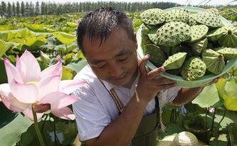 江蘇泗洪:高溫下的採蓮人