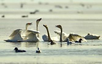 河北壩上 天鵝起舞