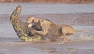 Aggressive lions show a giant crocodile who's boss