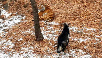 Brave goats lives with tiger for four days