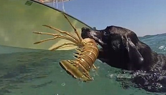 Labrador catches lobster for master