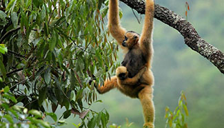Crested gibbons enjoy leisure time in China's Yunnan
