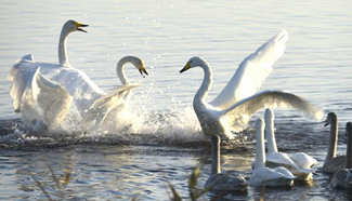 Over 1,000 whooper swans spend winter time in Shandong
