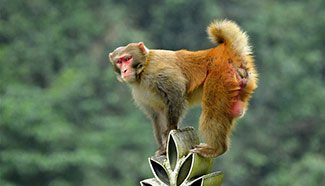 Macaques have fun in forests in C China