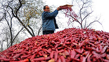 Chili harvested in Guangzong County, N China's Hebei