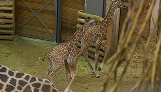 Two baby giraffes seen at zoo in Hungary