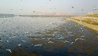 Sea gulls fly at sea areas in Dalian, NE China