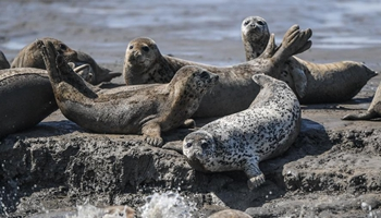 Spotted seals rest on coastal mudflat of Liaodong Bay in NE China