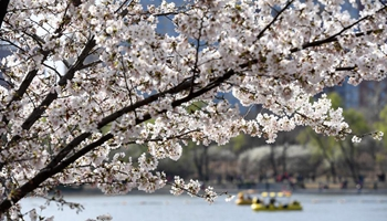 Tourists view cherry blossoms at Yuyuantan Park in Beijing
