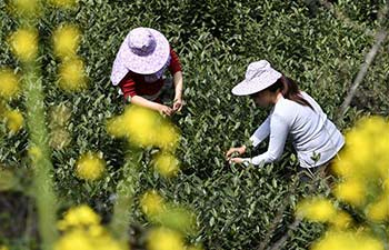 Farmers in NW China harvest tea leaves before Qingming Festival