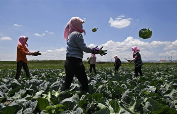Growing vegetable becomes new way for poverty alleviation in China's Ningxia