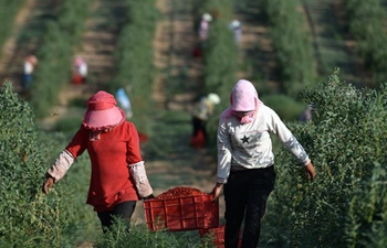 Annual production value of wolfberry hits 13 billion yuan in NW China