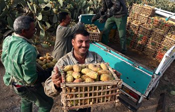 Egyptian farmers harvest prickly pears in Monofiya Governorate