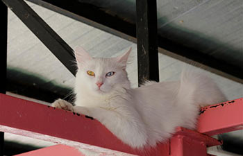 In pics: rare Turkish Van cats under protection