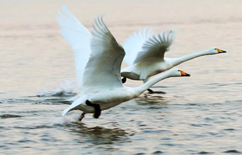 Swans seen in Rongcheng national swan nature reserve, east China