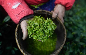 Longjing tea leaves harvested in Hangzhou