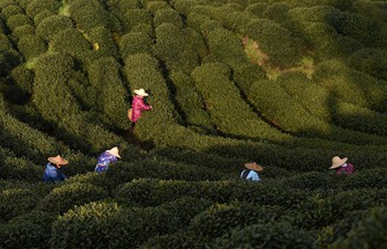 Workers pick tea leaves at tea garden in E China's Zhejiang
