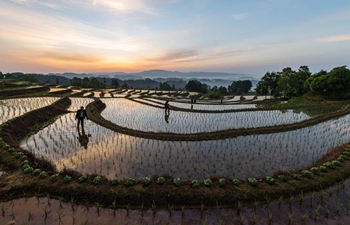 Farmers work in rice field in Chongqing, SW China
