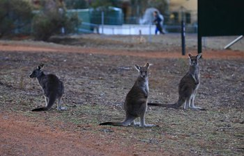 Kangaroos seen near residential areas near Canberra city center