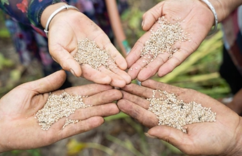 Sesame harvested in central China's Henan