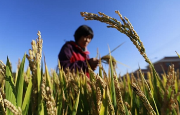 Photos show harvest season in Zunhua City, N China's Hebei