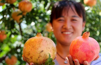 Pomegranate garden in E China's Shandong Province enters harvest season