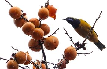Bird rests on persimmon tree in Guiyang, China's Guizhou