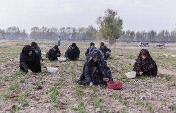 Farmers work in saffron field in western Afghanistan